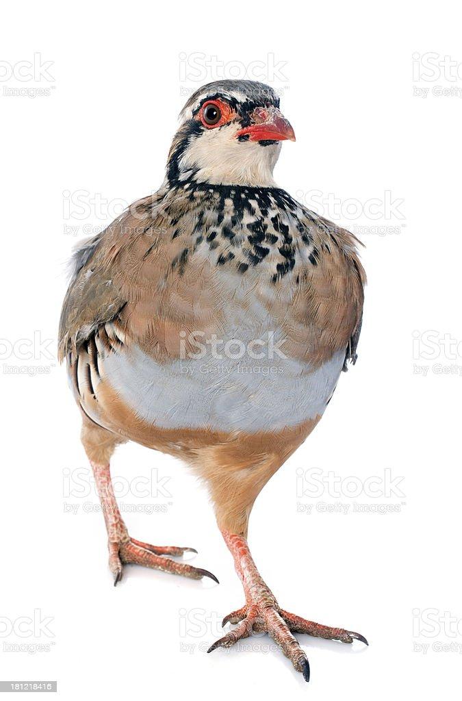 French Partridge, Alectoris rufa royalty-free stock photo