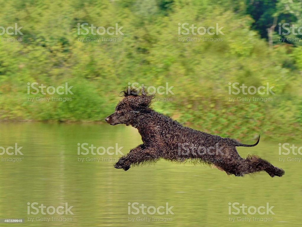 French Poodle Leaping stock photo