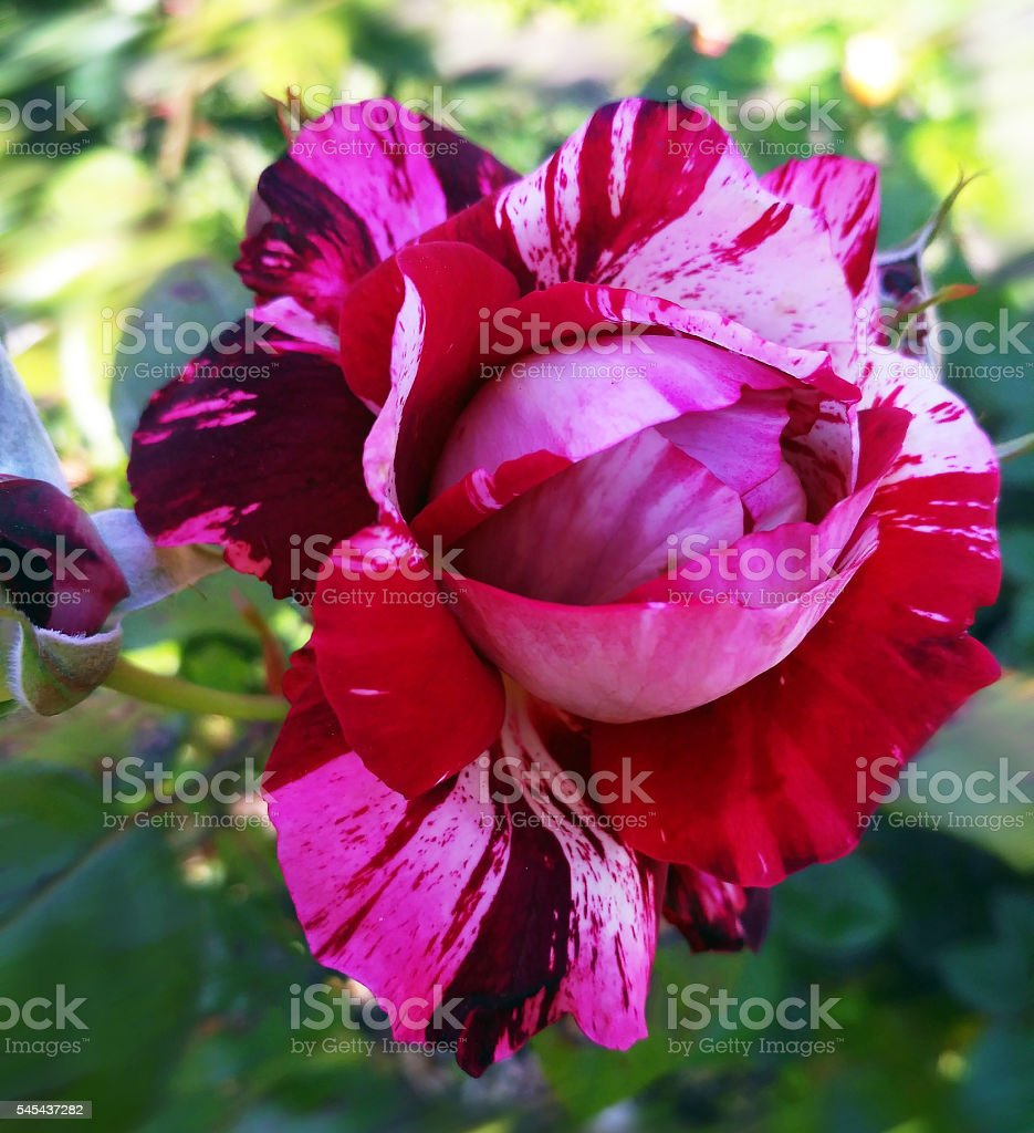 French rose called julio iglesias from Meilland stock photo