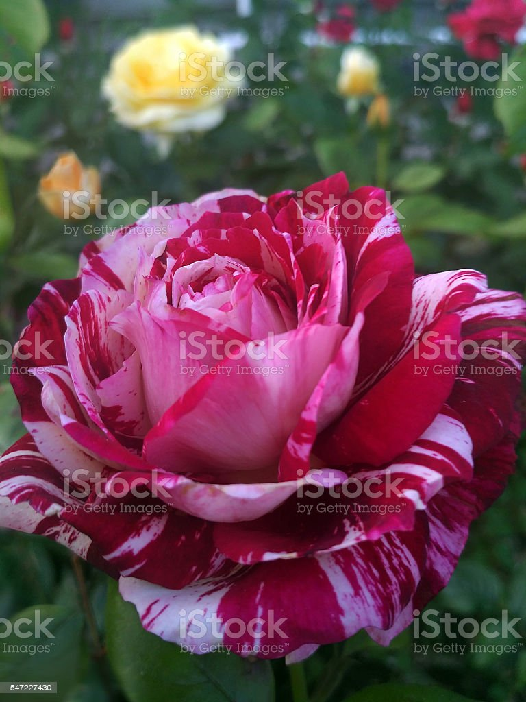 French rose stock photo