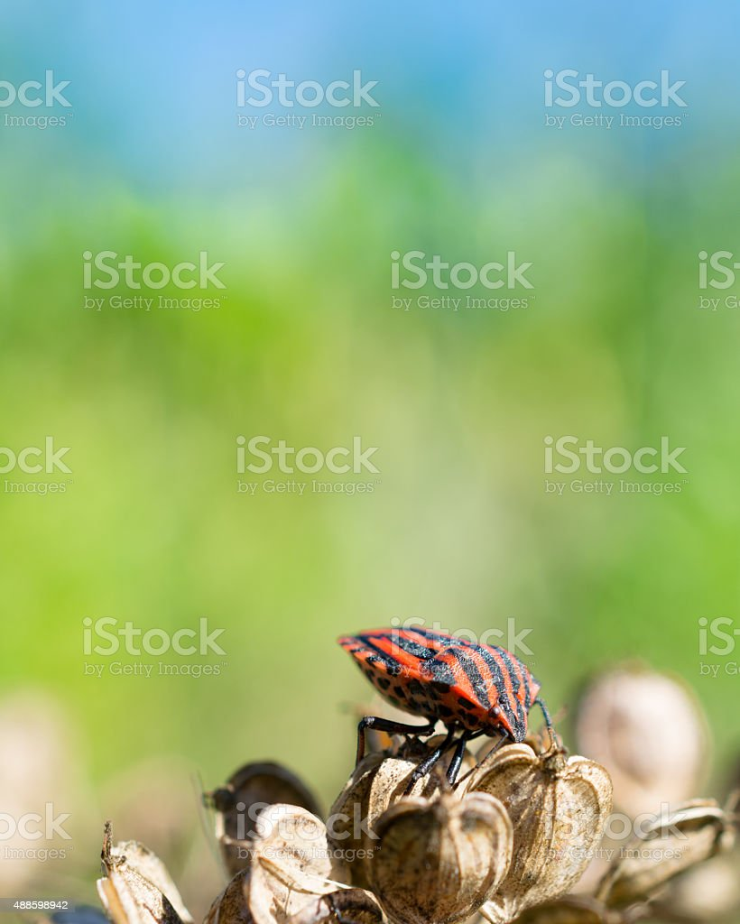 French striped bug Graphosoma lineatum stock photo
