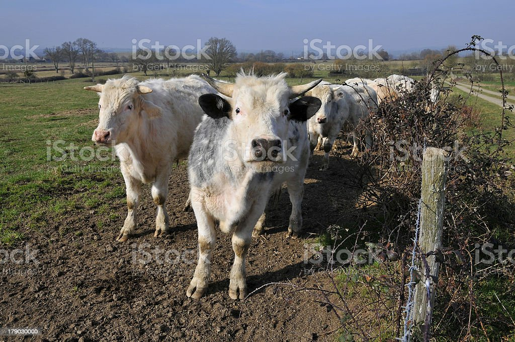 French white cows in a field stock photo