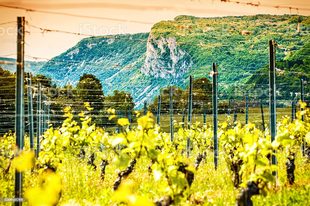 French young vineyard in spring season with mountain in background stock photo