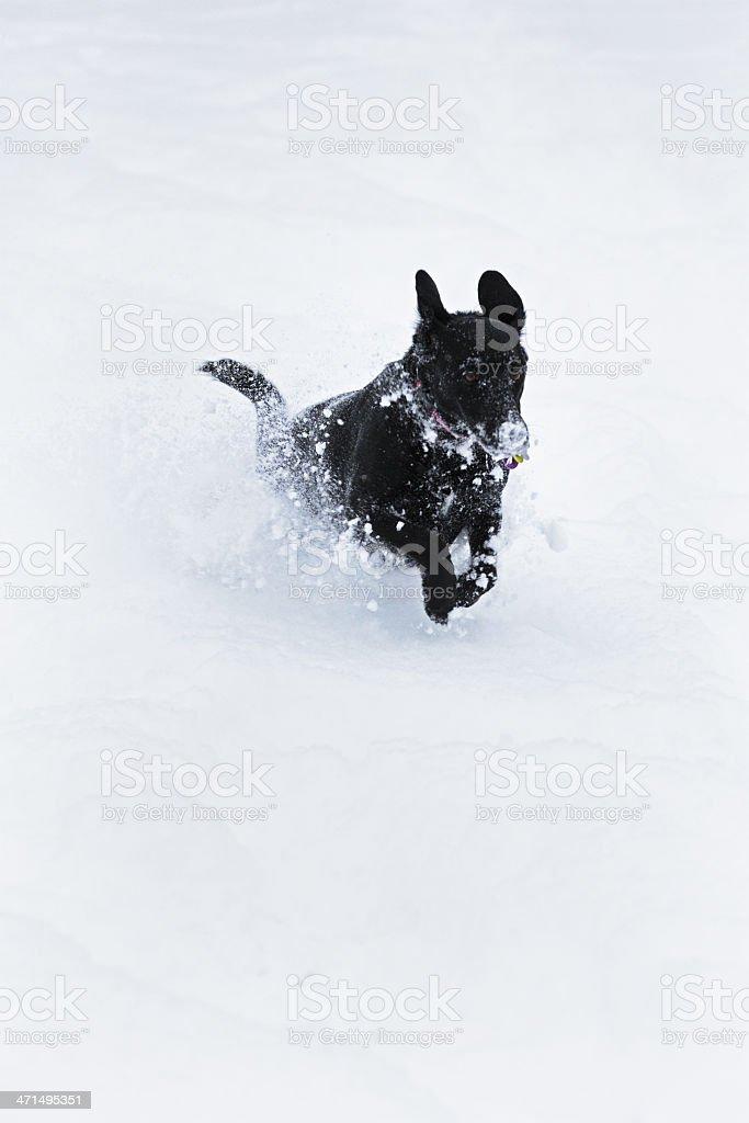 Frenzied Dog Bounding Through Blizzard Snow stock photo