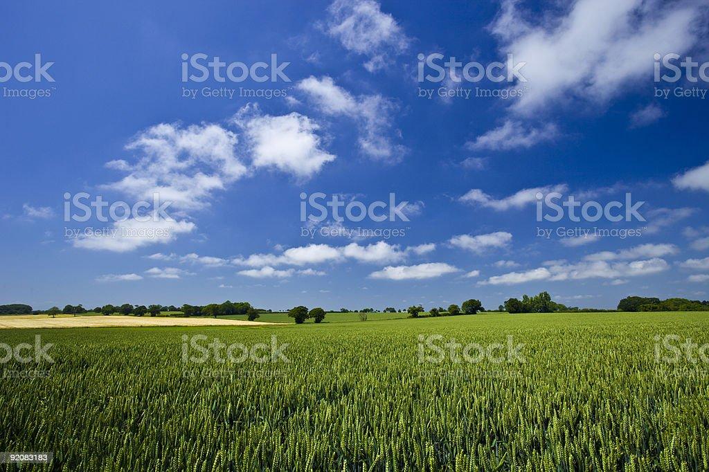 Fresh air. Blue skies over green wheat field stock photo