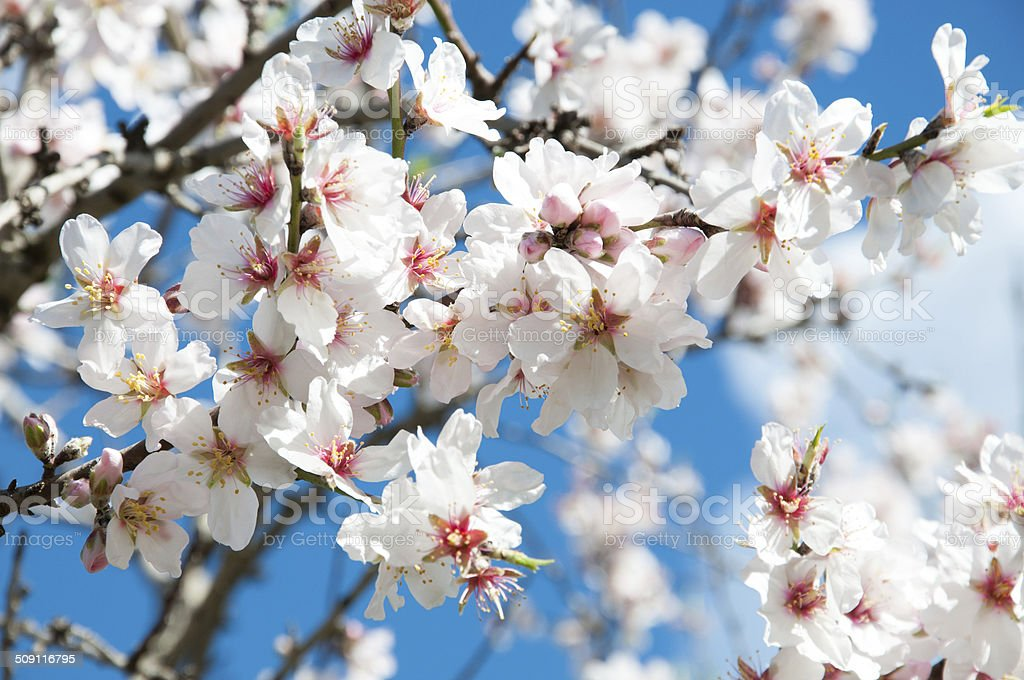 Fresh almond flowers closeup stock photo