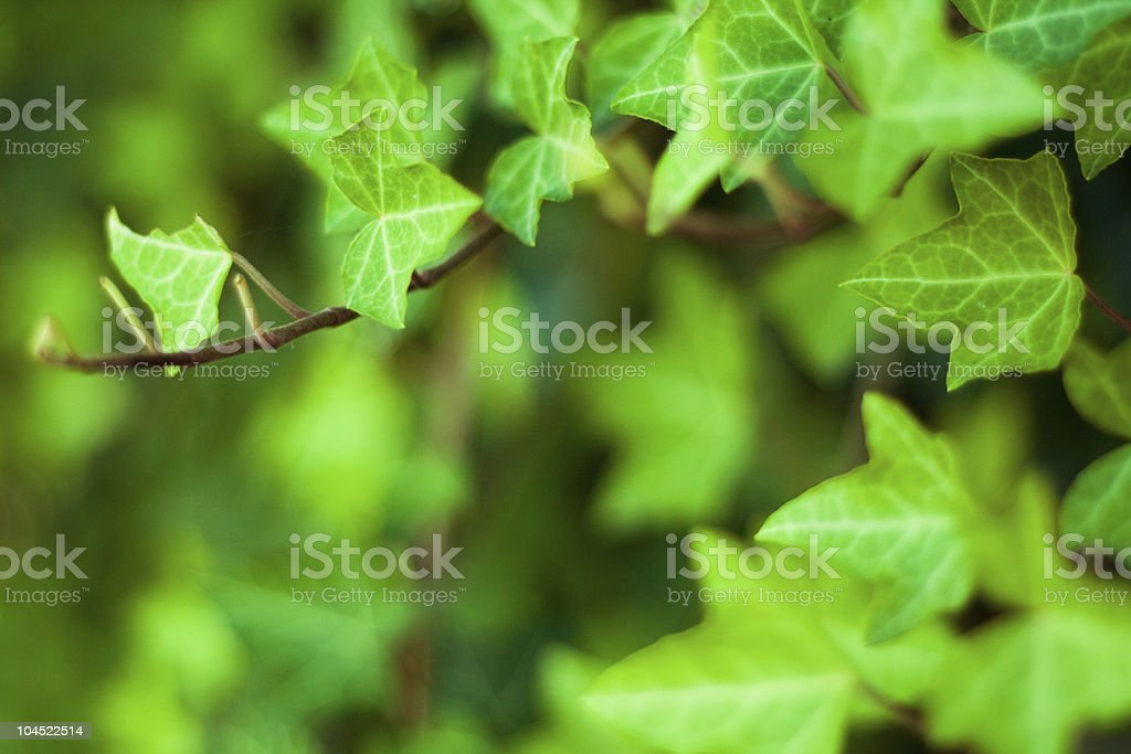 fresh and green ivy royalty-free stock photo
