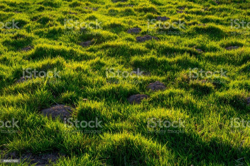 Fresh and overgrown mole hills stock photo