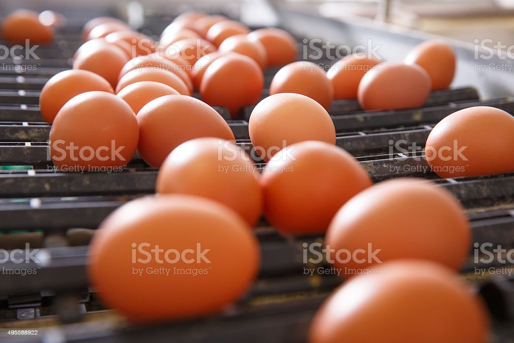 Fresh and raw chicken eggs on a conveyor belt stock photo