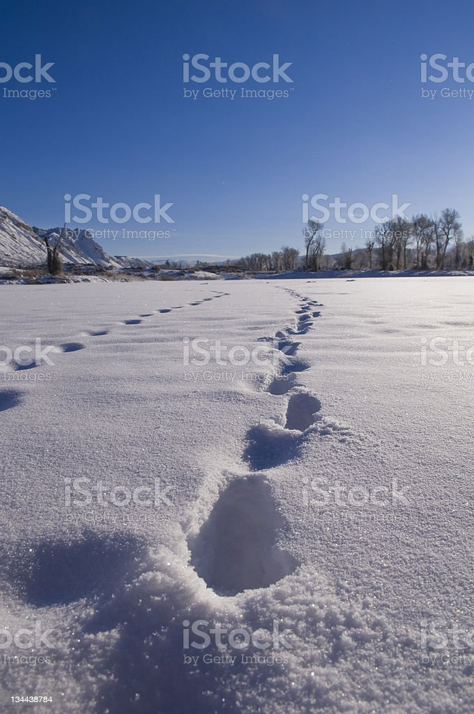 Fresh Animal Tracks in Winter Snow royalty-free stock photo