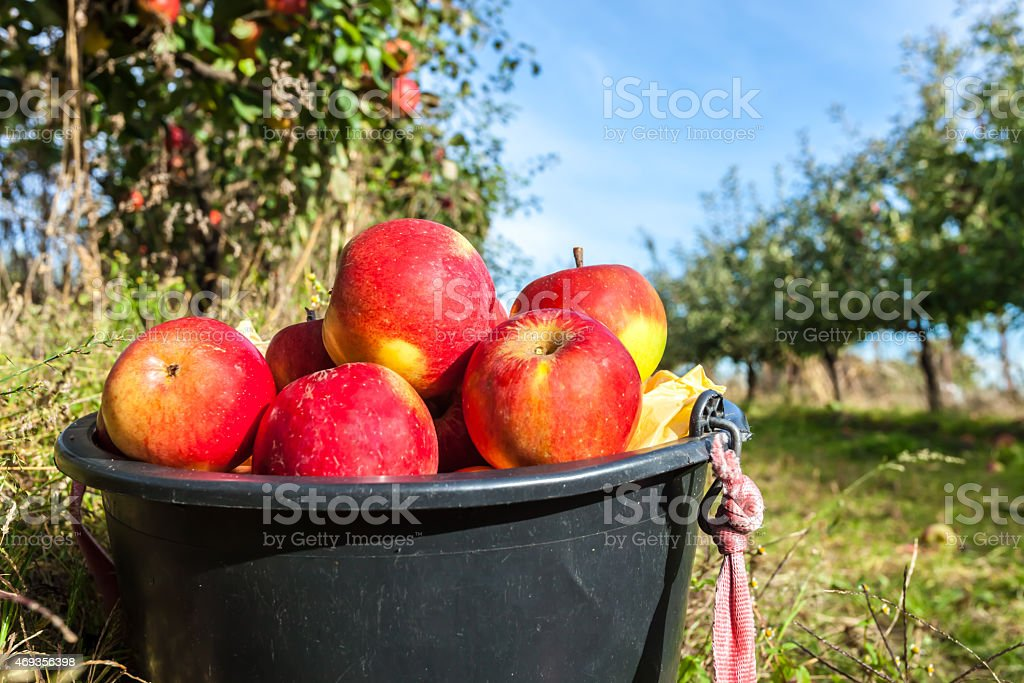 Fresh apples in a bucket stock photo