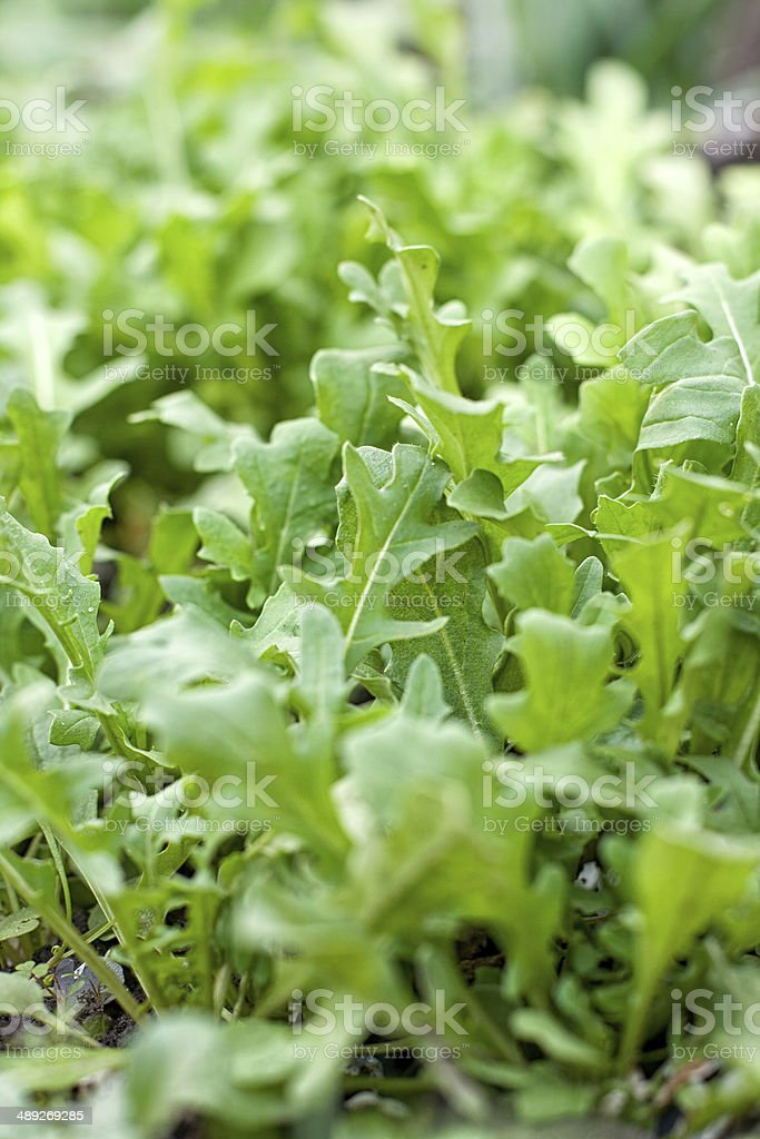 Fresh arugula stock photo