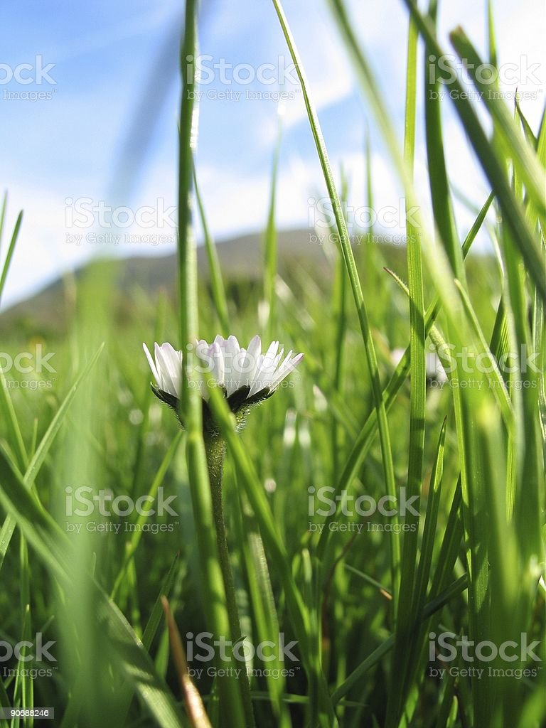 Fresh as a Daisy royalty-free stock photo