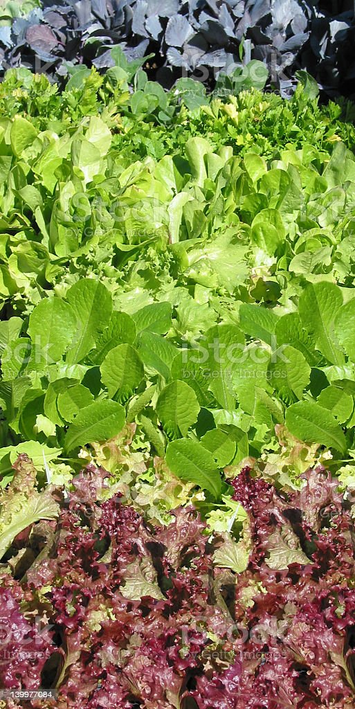 Fresh Baby Greens for the Planting royalty-free stock photo