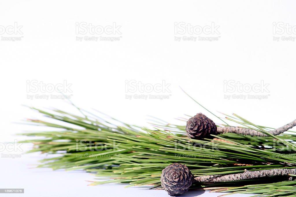 Fresh baby pine-cone stock photo