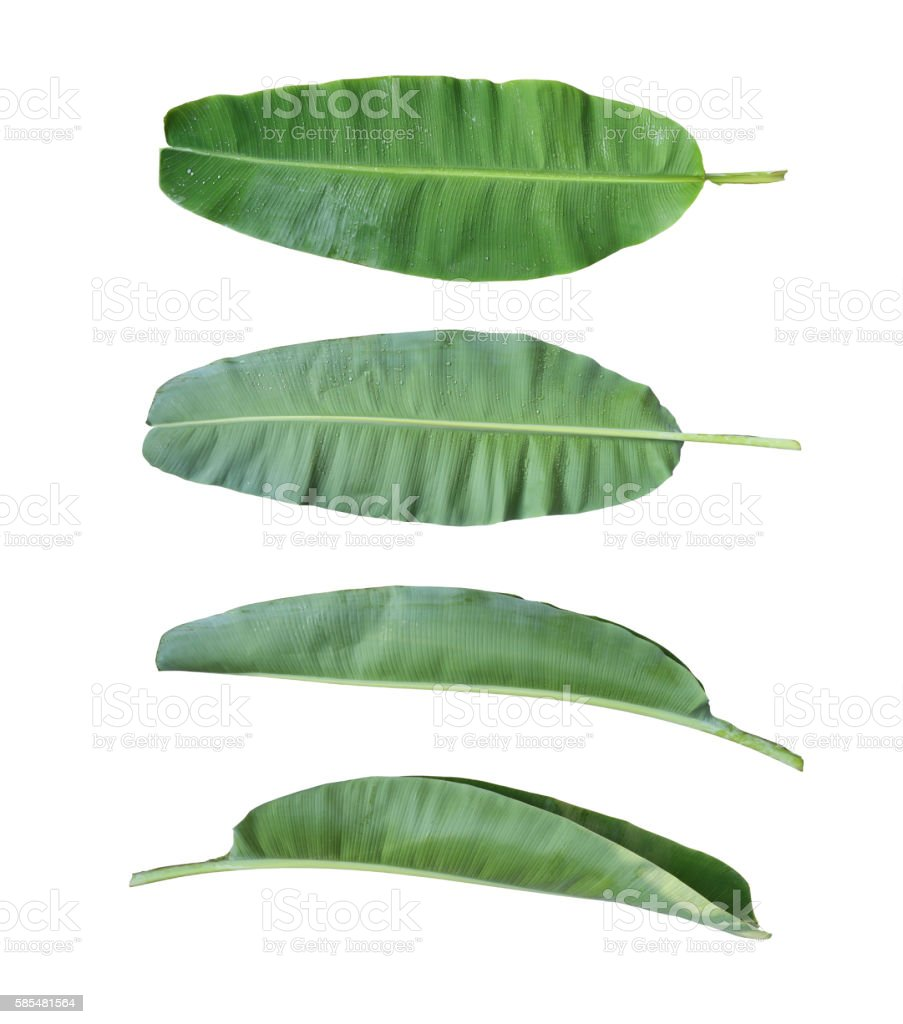 Fresh banana leaf isolated on white background. stock photo