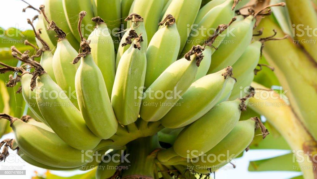 Fresh bananas on banana tree stock photo
