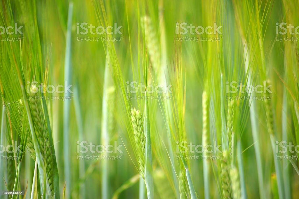 Fresh barley stock photo