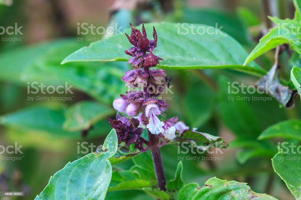 Fresh basil and blossom stock photo