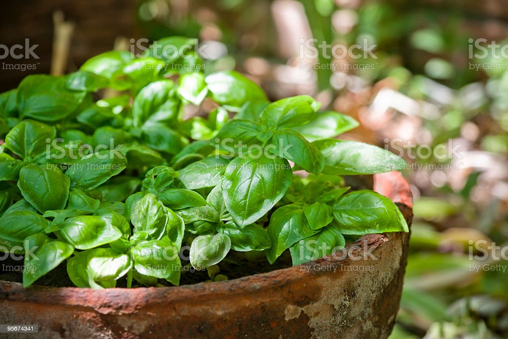 Fresh basil growing in an old terracotta pot outdoors stock photo