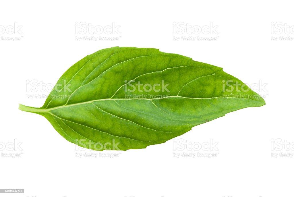 fresh basil leaf isolated royalty-free stock photo