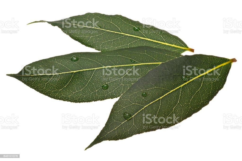 Fresh bay laurel (Laurus) leaves, paths stock photo