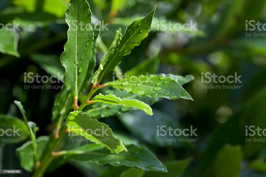 Fresh Bay Leaves - Useful for Cooking stock photo