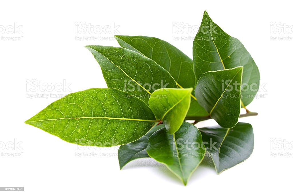Fresh bay tree branch isolated on white background stock photo
