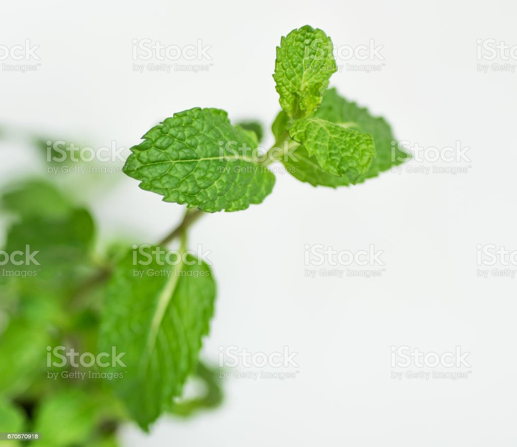 Fresh beautiful mint plant leafs, closeup macro. Mentha plant - healthy, cooking and spice concept and idea stock photo
