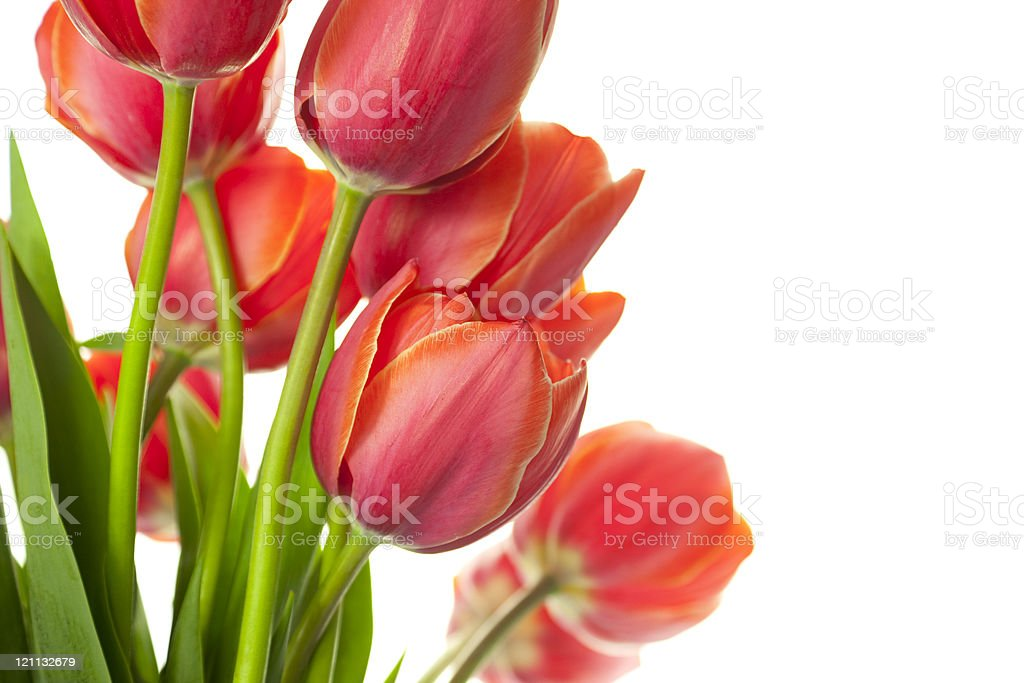 Fresh Beautiful Tulips / isolated on white / horizontal with copy space royalty-free stock photo