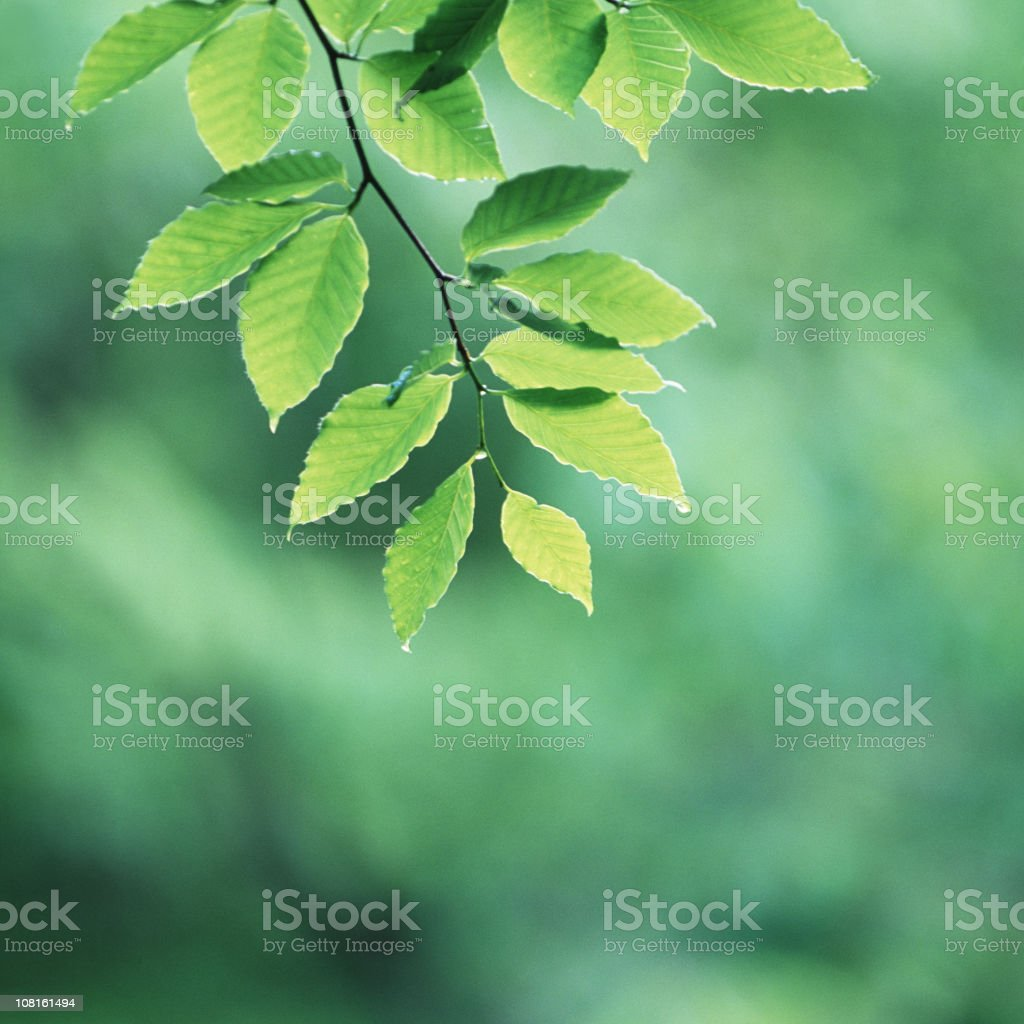 Fresh beech leaves royalty-free stock photo