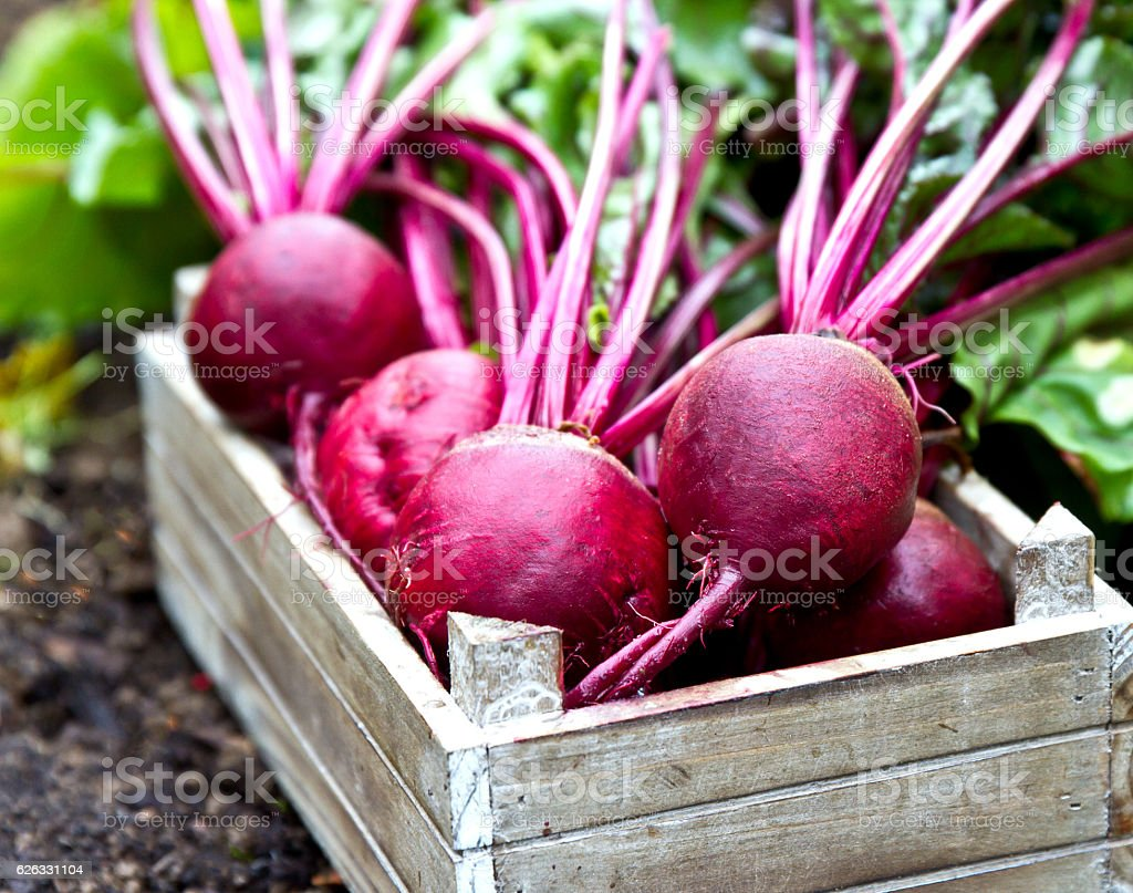Fresh beetroots in wooden tray. Beet with leaves. stock photo