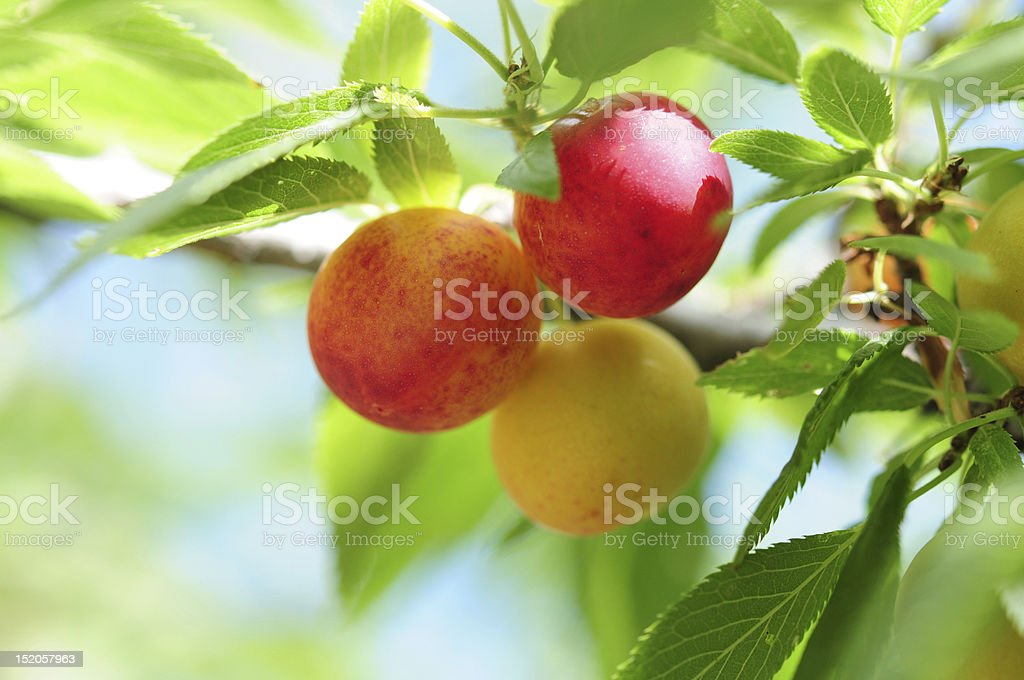 Fresh Berry royalty-free stock photo