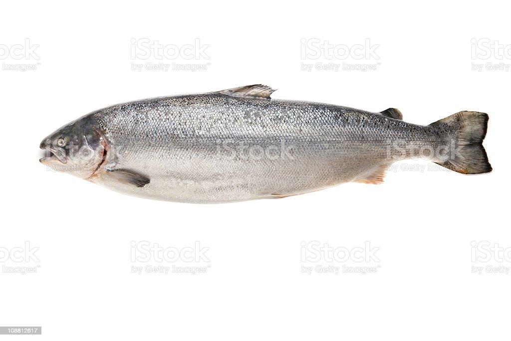 Fresh big salmon royalty-free stock photo