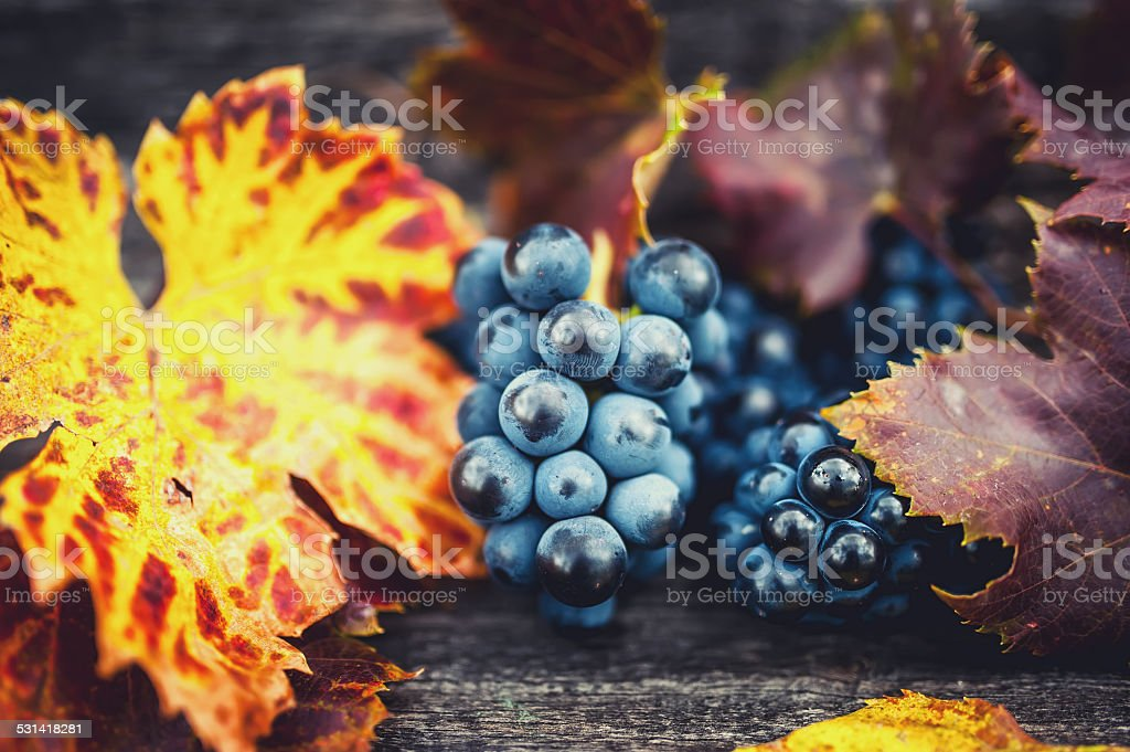 Fresh, bio and organic ripe grapes harvest at vineyard stock photo