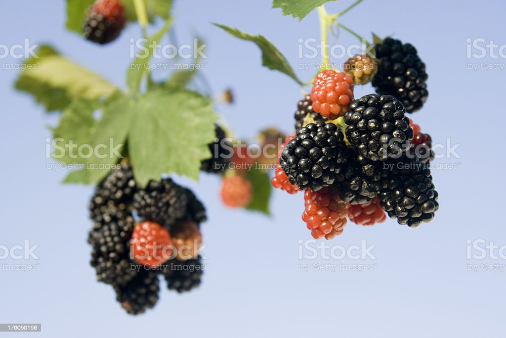 Fresh blackberries royalty-free stock photo