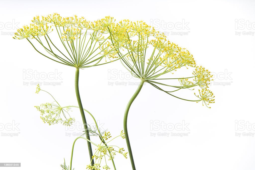 Fresh blooming dill flowers royalty-free stock photo