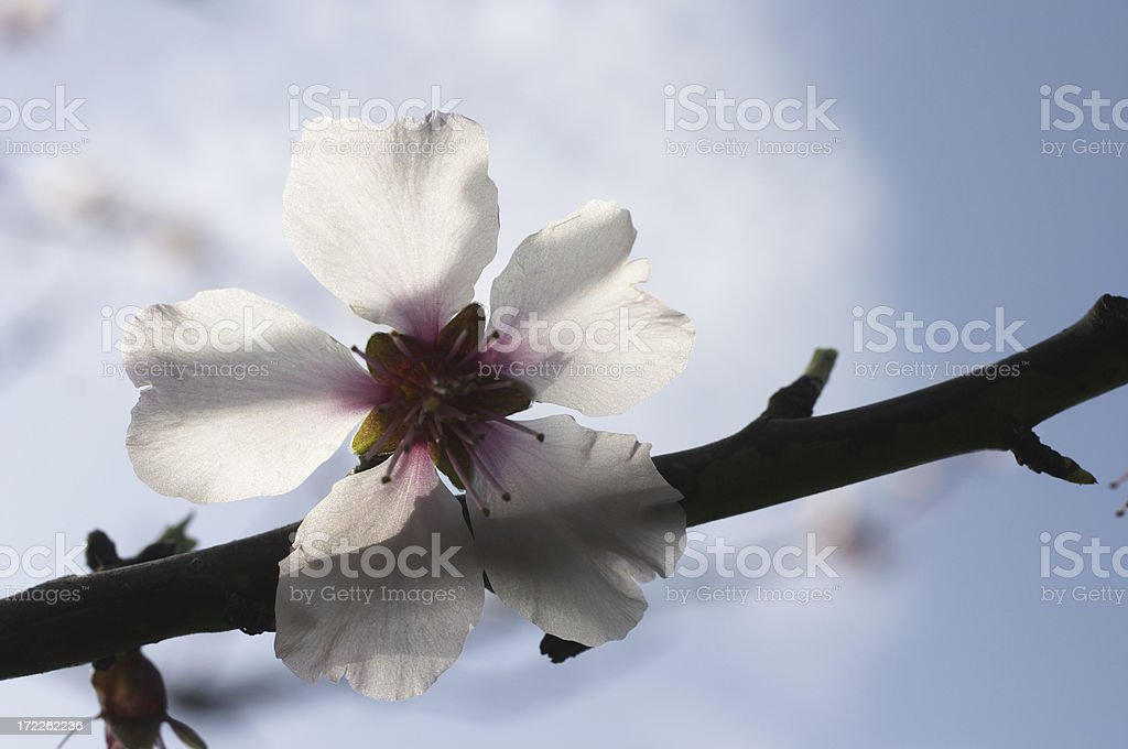 White blossom delicate transparency royalty-free stock photo