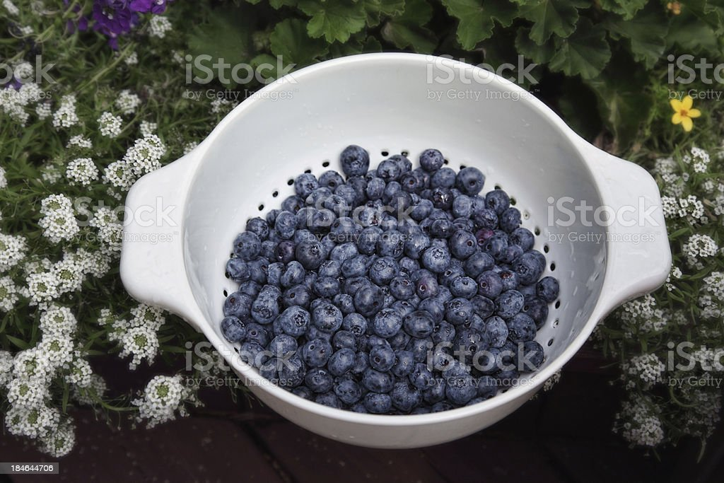 Fresh Blueberries in Garden stock photo