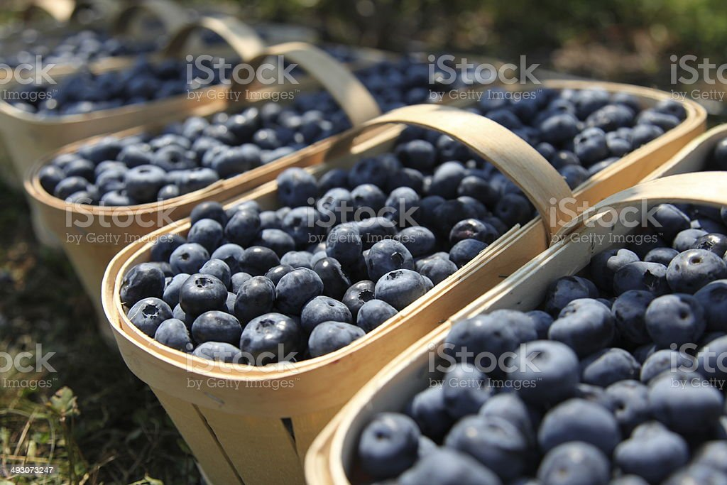 Fresh blueberries in harvest baskets stock photo