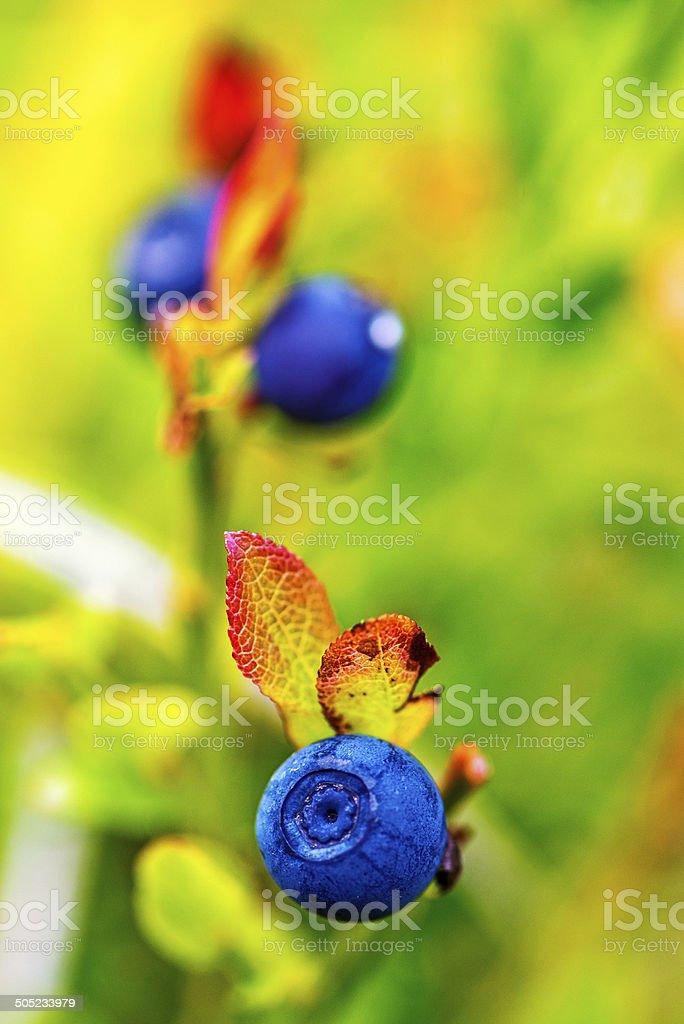 Fresh blueberries in wild stock photo
