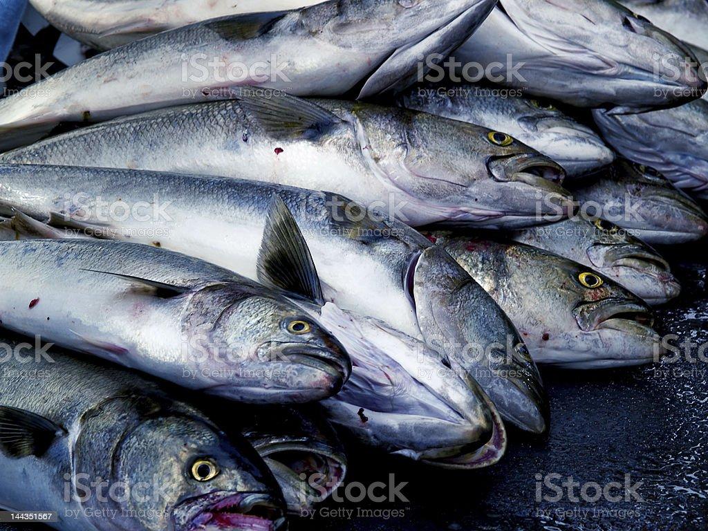 Fresh Bluefish Catch stock photo