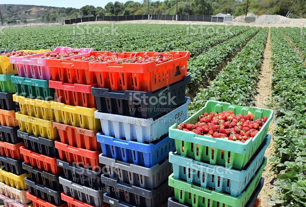 Fresh Boxed Strawberries stock photo