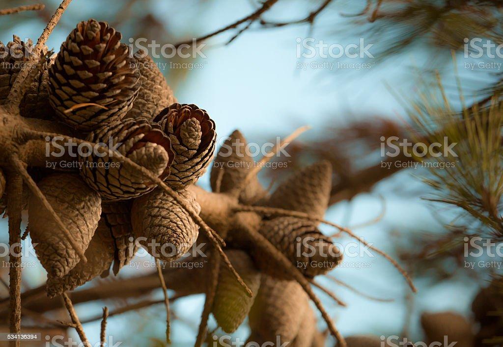 fresh brown pine cones on the tree stock photo