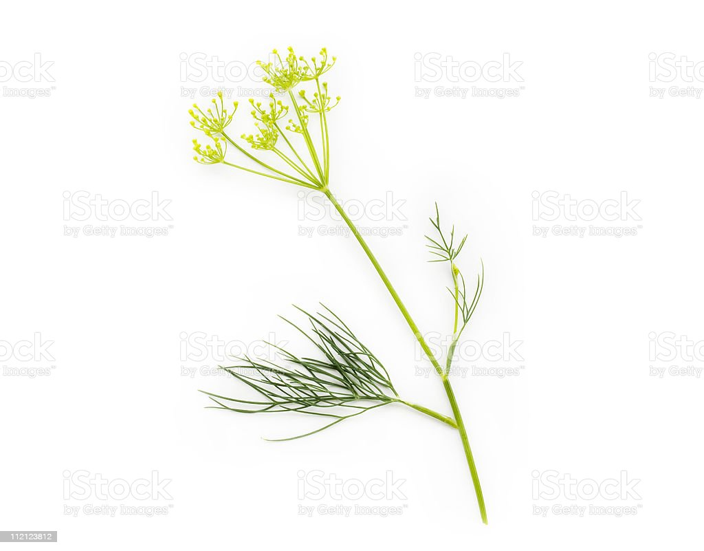 Fresh bunch of dill royalty-free stock photo