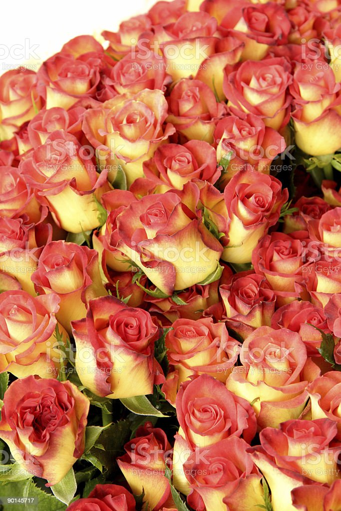 Fresh bunch of roses royalty-free stock photo