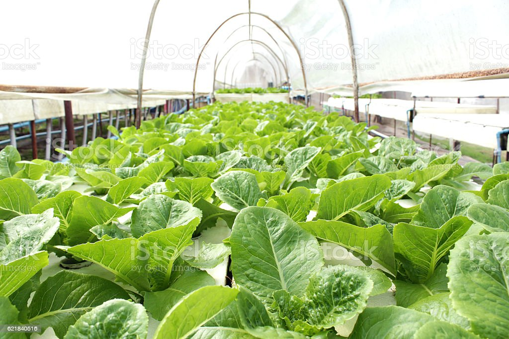 Fresh butterhead salad lettuce stock photo