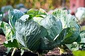 Fresh cabbage in garden