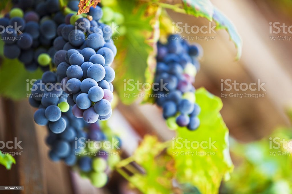Fresh Cabernet Sauvignon grapes stock photo