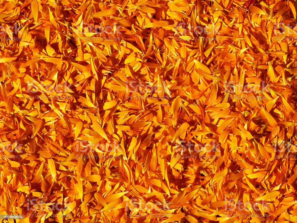 Fresh Calendula Officinalis Petals Herb Alternative Homeopathic Medicine Background stock photo